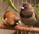 Oiseaux moineau du japone