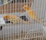 Couple canari