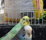 Jwija oiseaux perruches beaux couleur avec cage
