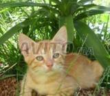 Chat jaune male