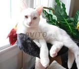 Chatte turc et deux chats jaunes