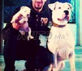 Chiots Dog ARGENTIN de 2 mois
