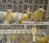 Canari oiseaux
