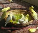 Oiseau canari