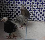 Pigeon sivianos