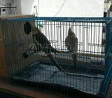 Jwija calopsitte avec cage