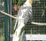 Oiseau calopsitte femelle