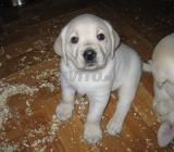 Chiots labrador golden blanc race pure