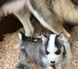 Husky femelle pure race