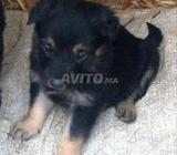 chiots bergers allemand