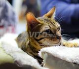 Disponibles manifique chatons bengal pedigree