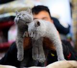 Disponibles magnifiques chatons british shorthair